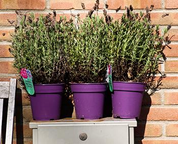 Lavendel, Kräuter [Foto: Sulamith Sallmann]